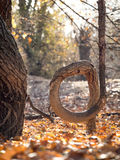 Bent tree in the forest in autumn. Bent tree in the park in autumn Royalty Free Stock Photos