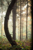 Bent tree in the forest Royalty Free Stock Images
