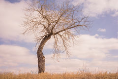 Bent Tree in the Grassland. Landscape of a bare bent tree with a cloudy sky Royalty Free Stock Photography