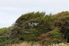 Bent Tree. A Bent Tree Growing on a Windy Coastal Cliff Top Royalty Free Stock Images