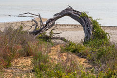 Bent tree trunk, sea spurge and other salt tolerant plants growi. Ng at coastal area, Coorong National Park in South Australia Royalty Free Stock Photography
