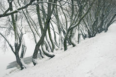 Bent tree trunks by winter. Many bent tree trunks by winter on the river shore Stock Image