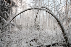 Bent Tree in Winter. Snow covered and bent tree in the forest in the winter. Nature slowly wakes up after snow storm Royalty Free Stock Image
