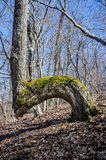Bent Tree in Woods Serves as a Trail Marker Stock Images
