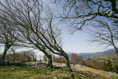 Bent trees of constant bora wind Stock Images