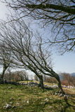 Bent trees of constant bora wind Royalty Free Stock Image