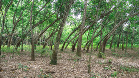 Bent trees Royalty Free Stock Image