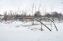 Bent trees by winter Stock Photo