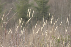 Bentgrass or Agrostis gigantea Stock Images
