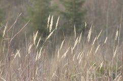 Bentgrass lub Agrostis gigantea Obrazy Stock
