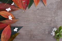 Benth di religiosa di Wrightia e foglia variopinta su di legno marrone fotografia stock libera da diritti
