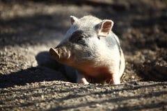 Bentheim pig outdoor Royalty Free Stock Photography
