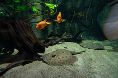 Benthic inhabitants of tropical waters - goldfish and stingrays Royalty Free Stock Photos