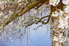 benting在水的一棵开花的树的分支在春天 图库摄影