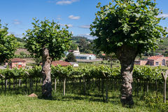 Bento Goncalves Vineyards Royalty Free Stock Image