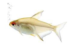bentosi鱼hyphessobrycon 库存图片