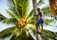BENTOTA, SRI LANKA - APR 26: Man on the coconut palm tree trunk Stock Images
