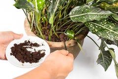 Benutzter oder ausgegebener Kaffeesatz, der als natürliches Betriebsdüngemittel verwendet wird Stockfotografie