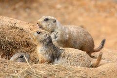 Beobachten von Meerkats/Suricates stockfotografie