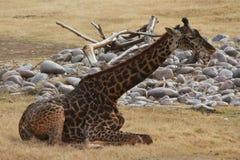 Beobachtende Giraffe im Phoenix-Zoo Stockbild