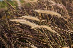 Beown grass. Reed. Brown grass texture and background. Reed texture Royalty Free Stock Photos