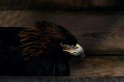 Beperking van vrijheidsconcept: Gouden Eagle Aquila-chrysaetos in gevangenschap royalty-vrije stock fotografie