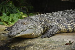 Beperkte krokodil royalty-vrije stock foto's