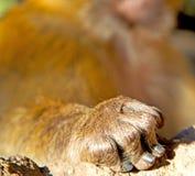 bepflanzen Sie Affen in Afrika Marokko und in der Faunahand des natürlichen Hintergrundes mit Büschen Lizenzfreies Stockfoto