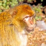 bepflanzen Sie Affen in Afrika Marokko und im Faunaabschluß des natürlichen Hintergrundes mit Büschen Stockbild