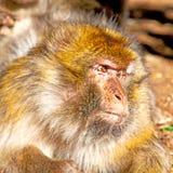 bepflanzen Sie Affen in Afrika Marokko und im Faunaabschluß des natürlichen Hintergrundes mit Büschen Lizenzfreie Stockfotografie