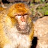 bepflanzen Sie Affen in Afrika Marokko und im Faunaabschluß des natürlichen Hintergrundes mit Büschen Stockfotografie