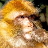 bepflanzen Sie Affen in Afrika Marokko und im Faunaabschluß des natürlichen Hintergrundes mit Büschen Stockfotos