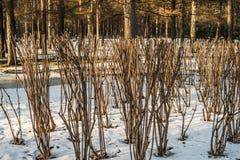 Bepflanzt lustigen Schnitt auf dem Schnee mit Büschen Stockfotografie