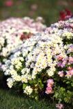 Bepflanzt verschiedene Farbchrysanthemen mit Büschen Stockfotografie