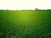 Bequeme Ansicht der grünen Reisfelder der Natur am Sonnenschein stockfotografie