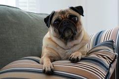 Bequemer Pug Lizenzfreie Stockbilder