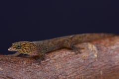 Bequia dwarf gecko / Sphaerodactylus kirby Royalty Free Stock Photos