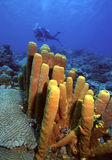Bequia sponges. Dive site off Bequia,St. Vincent and the Grenadines royalty free stock photo