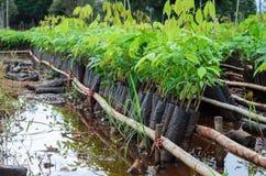 Berçário da árvore da borracha Imagem de Stock