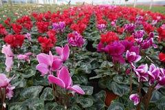 Berçário da flor do sowbread Imagem de Stock