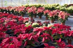 Berçário da planta com flores do poinsettia Imagem de Stock Royalty Free