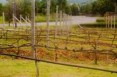 Berçário da uva do bebê, vinha da agricultura, plantação do campo da fileira fotografia de stock