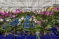 Berçário da vista geral das orquídeas Foto de Stock