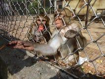 Berçário do macaco de Sukhumi Fotografia de Stock Royalty Free