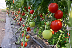 Berçário do tomate Fotos de Stock Royalty Free