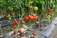 Berçário do tomate Fotografia de Stock