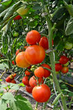 Berçário do tomate Imagens de Stock Royalty Free