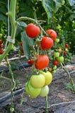 Berçário do tomate Imagem de Stock