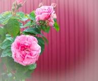 Beröm av mars 8 Royaltyfria Foton