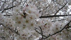 Berömd blomma, Sakura arkivfoto